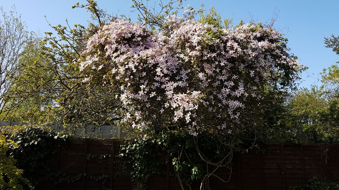 Alison's Clematis Montana